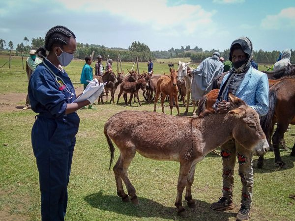 A SPANA Ethiopia vet treats a donkey for lameness during a mobile clinic