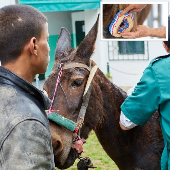 Mule being treated for a wound by a vet