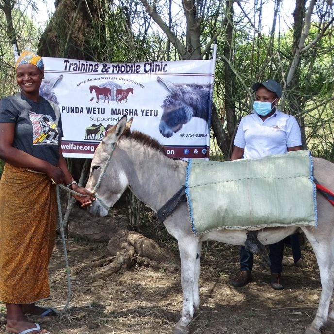 A grey donkey standing with its owner