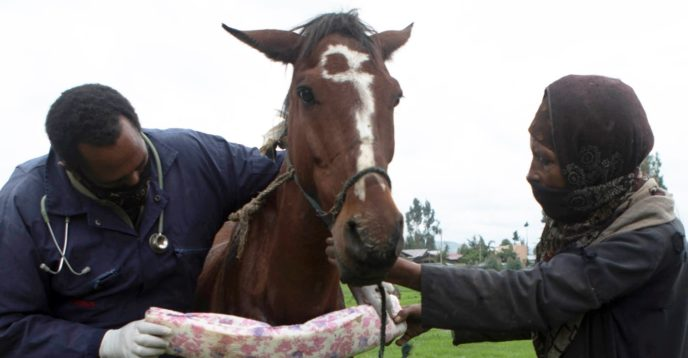 Vet fitting padding onto a brown horse's harness