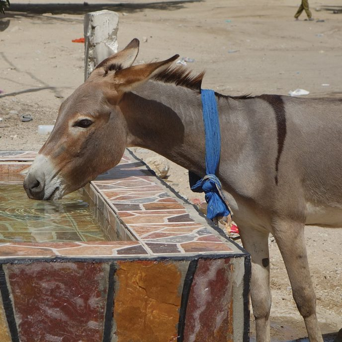 A donkey drinking from a water trough outside the Nouakchott SPANA centre, Mali.