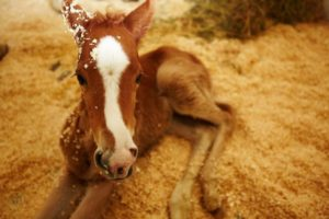 ginger-foal-morocco