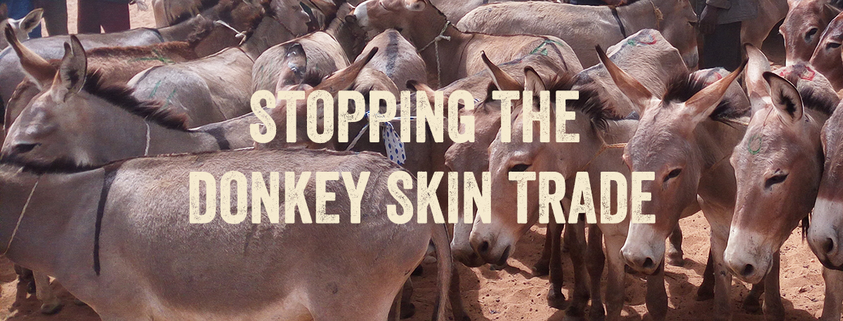 Stopping the donkey skin trade
