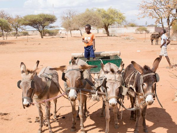 Four donkeys attached to cart
