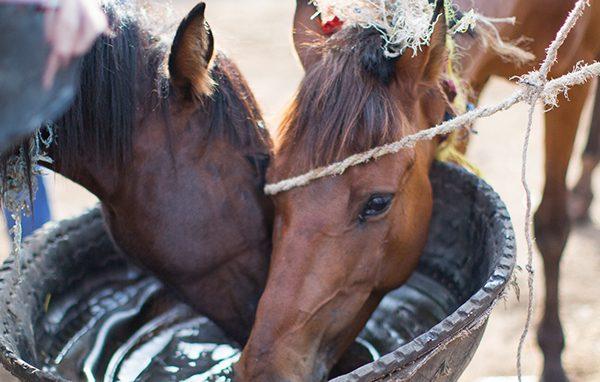 Horses in Ethiopia drinking water