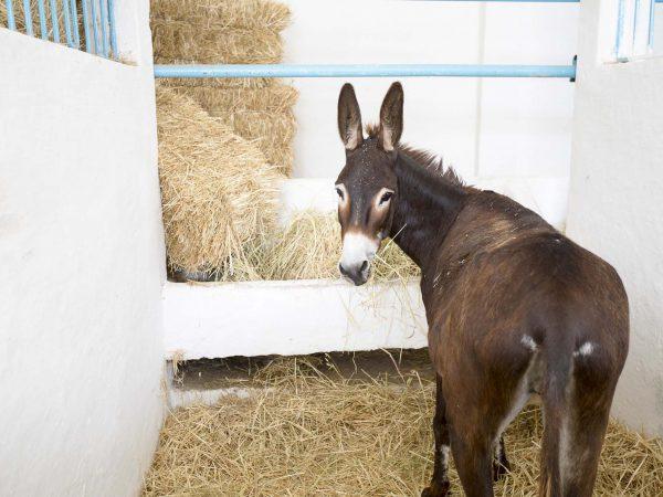 Brown donkey eating hay in stable