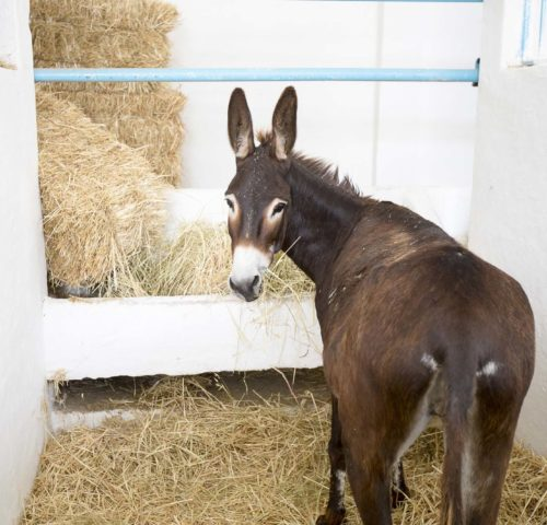 Brown donkey eating hay in stable