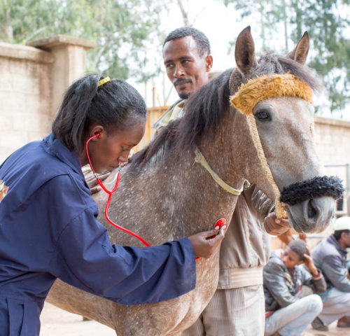 Ethiopia vet treating horse
