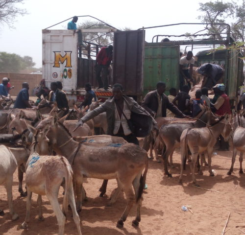 donkeys being herded into two vans