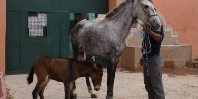 Brown foal and grey horse with owner