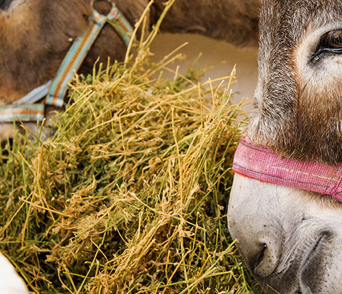 Two brown donkeys eating hay in a stable