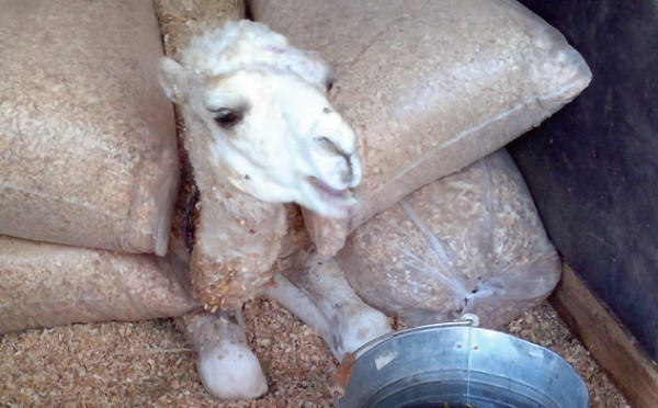 Wadh the baby camel