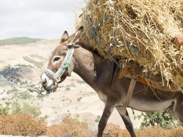 Donkey carrying hay