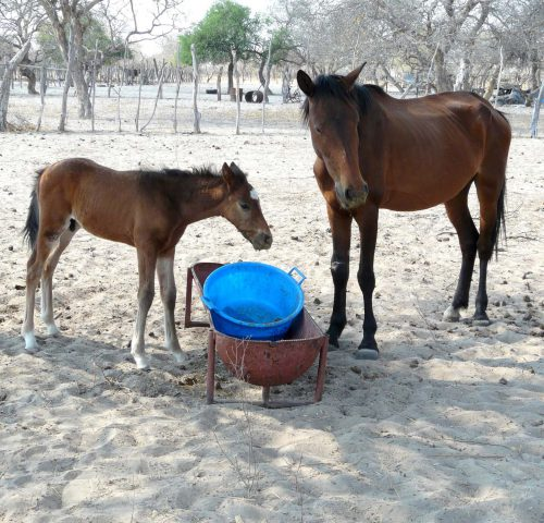 Foal and horse at feeding trough