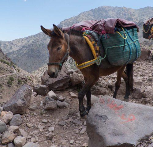 Mules walking on mountain