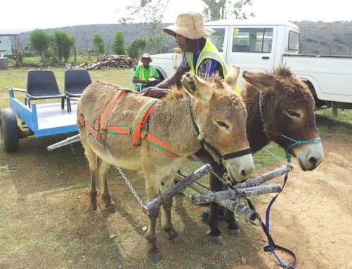 Two donkeys with cart