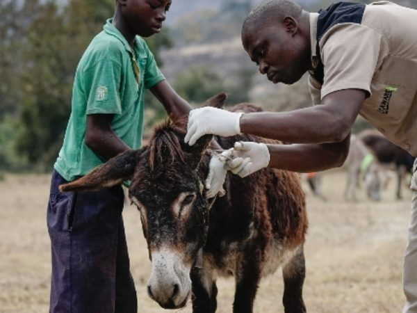 Zawadi donkey being treated by a vet