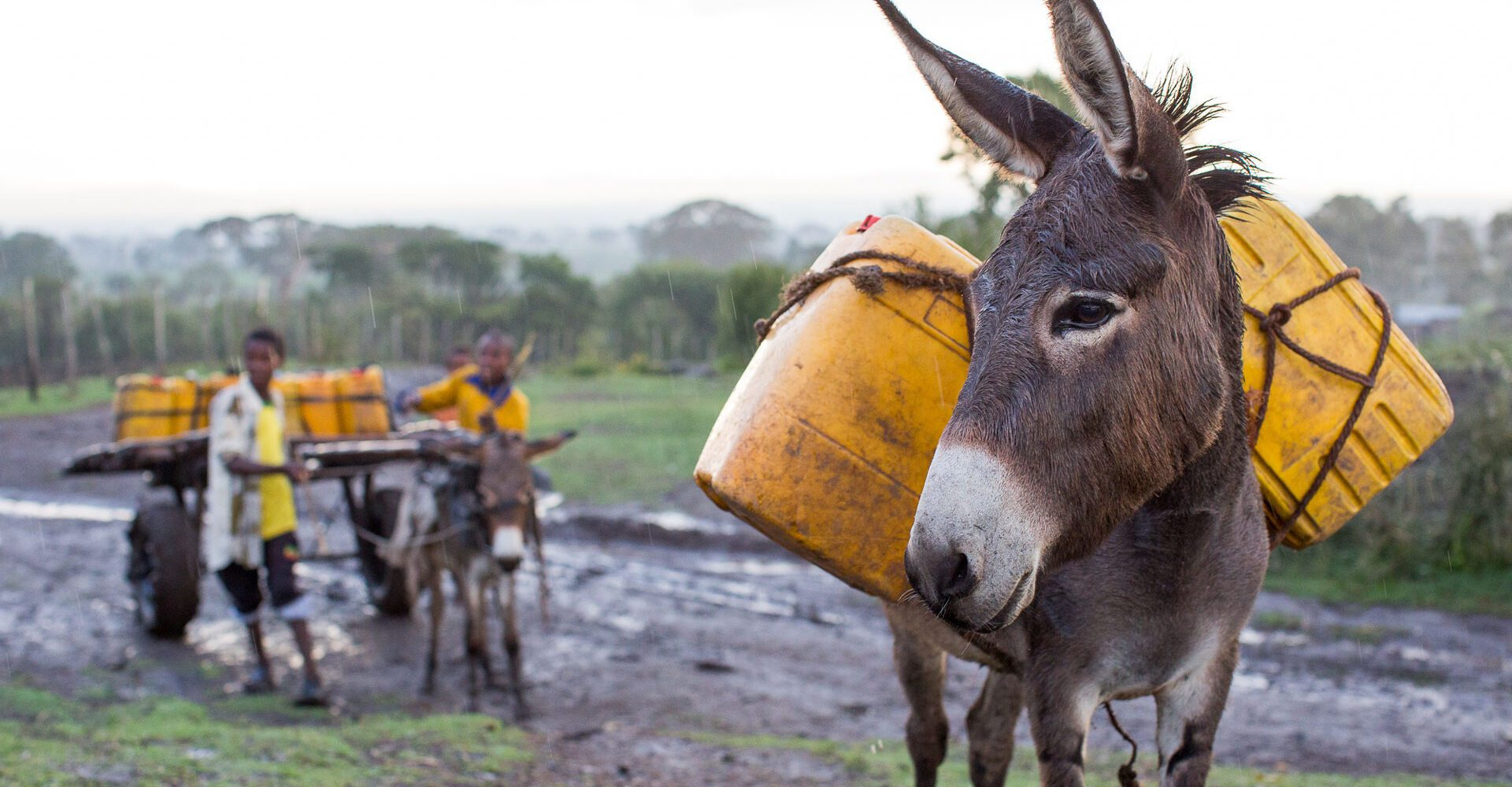 Donkey on the right hand side carrying 2 yellow water barrels.