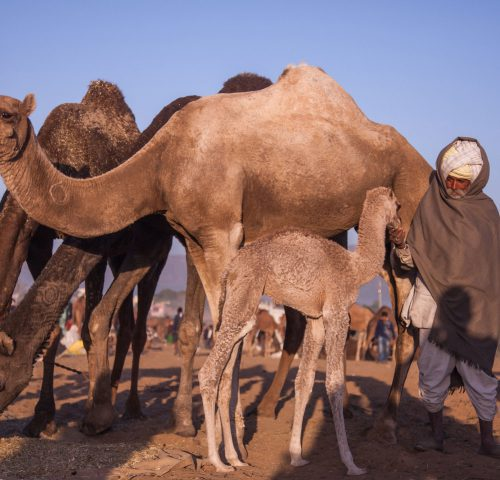 Man surrounded with camels petting a foal