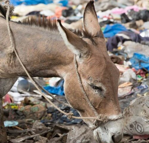 donkey working on a rubbish dump