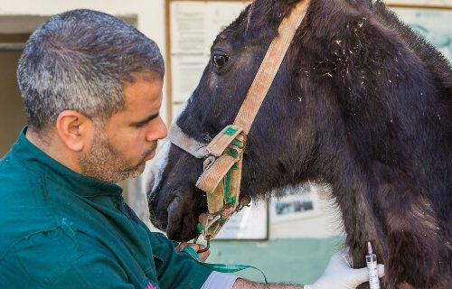 horse being treated in morocco
