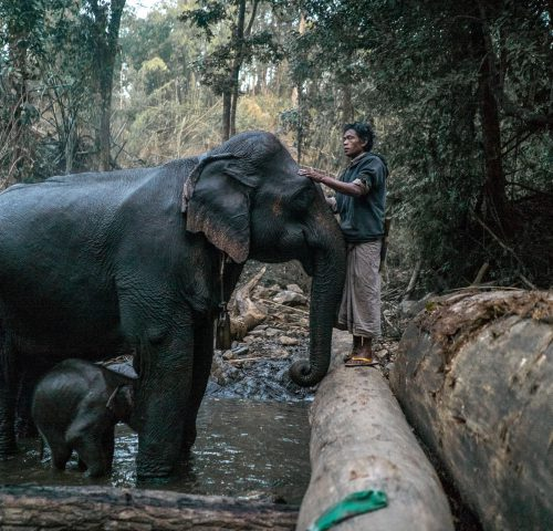 Man strokes head of an elephant stood in a river with her baby