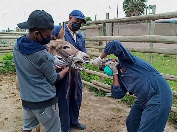 SPANA vets rasp a donkey's teeth