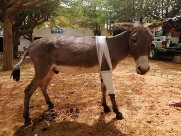Amou the working donkey receives treatment for sarcoid, a skin tumour